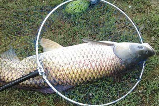 夏季如何钓草鱼 分享五大钓草鱼技巧