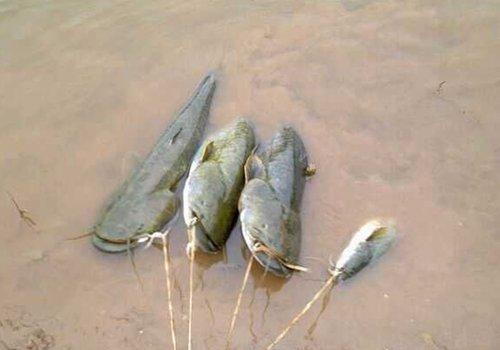 夏季池塘钓鲶鱼的七大要点分析