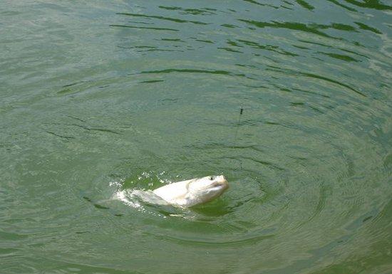 夏季水库钓鲢鱼的钓法技巧与钓具搭配