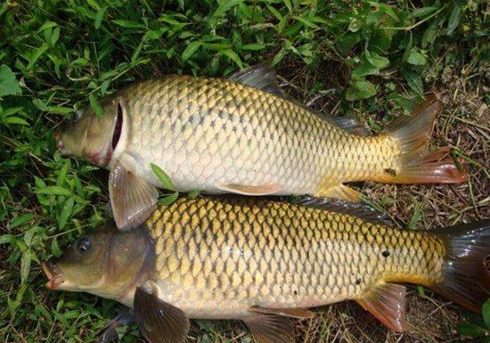 详解初夏钓鲤鱼选择钓位、用饵与钓法