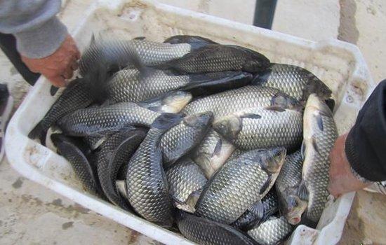 黑坑钓鲫鱼使用红虫颗粒的方法