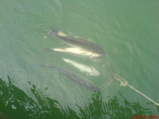 在活水中运用排钓钓鱼的技巧