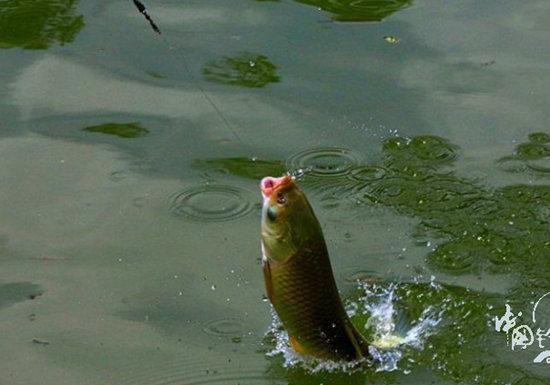 夏季钓草鱼的最佳方法与钓具搭配