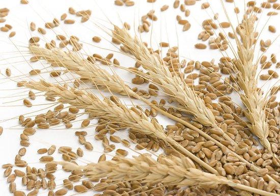 麦子成熟的季节用小麦钓草鱼的技巧