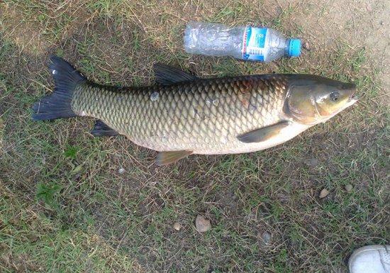 夏季是钓草鱼的好季节 阴雨天气钓草鱼的技巧