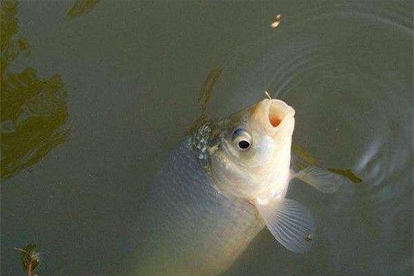 鱼饵加甜味剂有用么 钓鱼中甜味剂使用方法