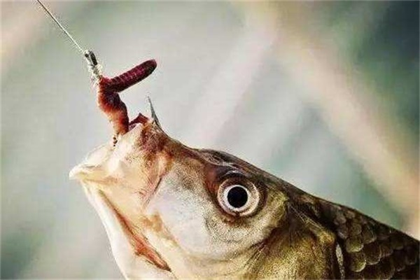 老钓手教你如何正确用蚯蚓钓鱼