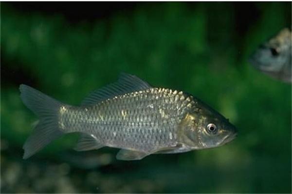 二十年经验老钓手传授钓鱼神技 看完立钓鲫鱼几百条