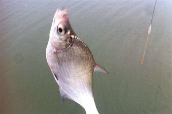 鳊鱼怎么钓 立秋前后鳊鱼的钓法技巧介绍