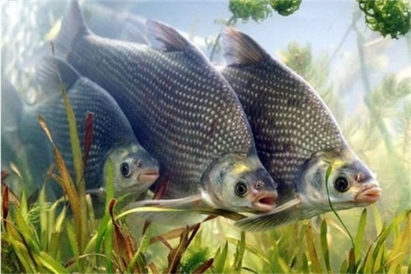 立秋后怎么钓鳊鱼,最强悍的垂钓技巧就是这些