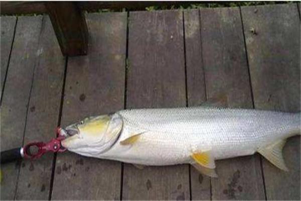 新手怎么路亚鳡鱼 学会轻松钓鳡鱼