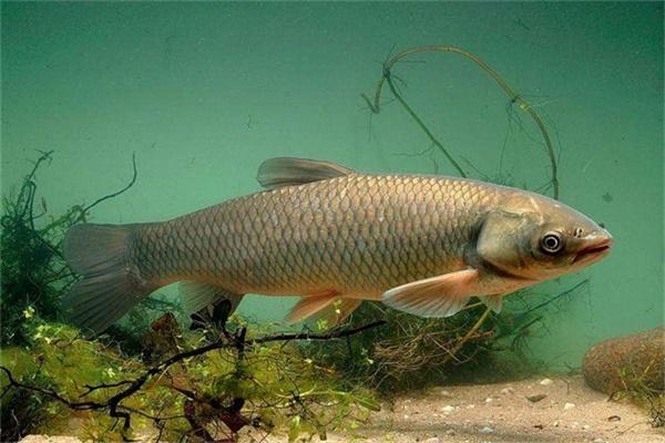夏季怎么钓草鱼 学会立刻爆护