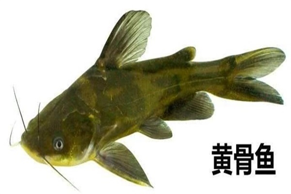 三伏天怎么钓黄骨鱼最轻松