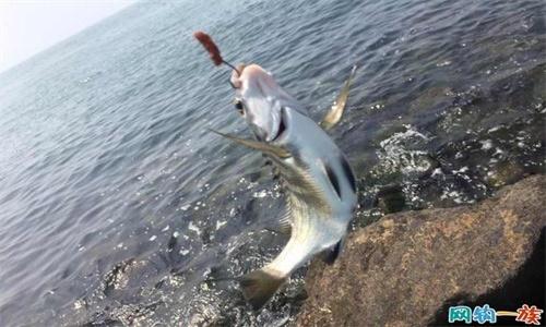 鲅鱼怎么钓 钓鲅鱼技巧介绍