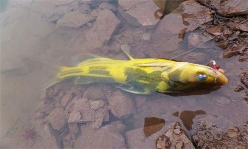 黄骨鱼怎么钓 黄骨鱼钓法详解