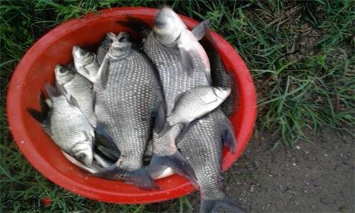 秋季怎么钓鳊鱼 鳊鱼钓法介绍