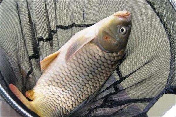 用这些方法钓鲤鱼,再也不怕脱钩切线了。