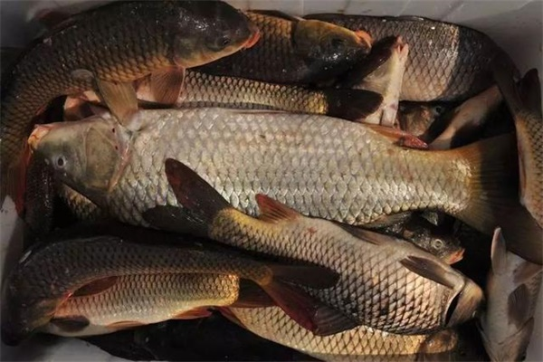黑坑中钓静养鱼该怎么钓 黑坑中需要什么钓技呢?