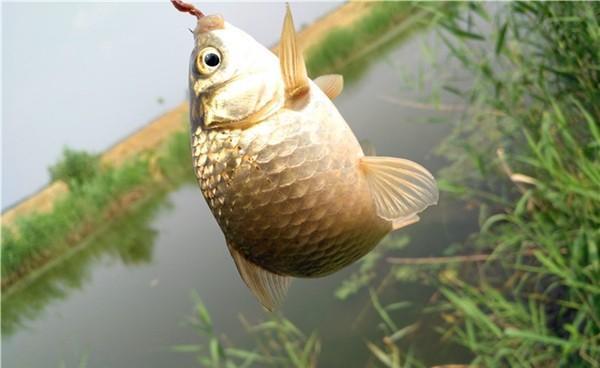 秋季草洞钓大鲫鱼的注意事项,传统钓的一点经验