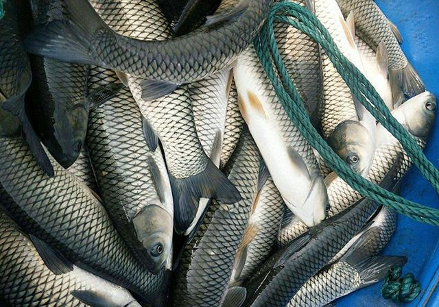 常见的4种青鱼品质,垂钓方法以及特点