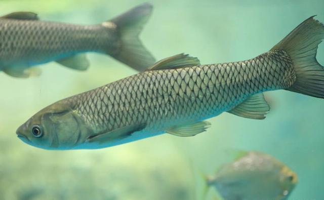 长江钓鲤鱼,连竿作钓6条大鲤鱼,夏钓野生鲤鱼