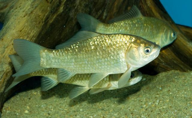 冬季居然是钓鲫鱼的黄金季节,应该钓深还是应该钓浅