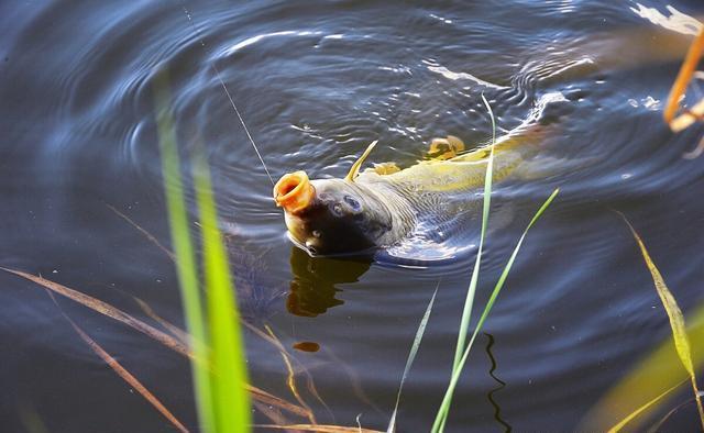 秋季鲤鱼肥美,也是野钓的最佳时机