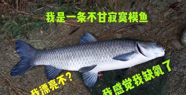 详细分析钓黑坑青鱼方法,轻松爆户