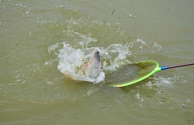 罗非鱼的生活习性,罗非鱼选择钓位的技巧
