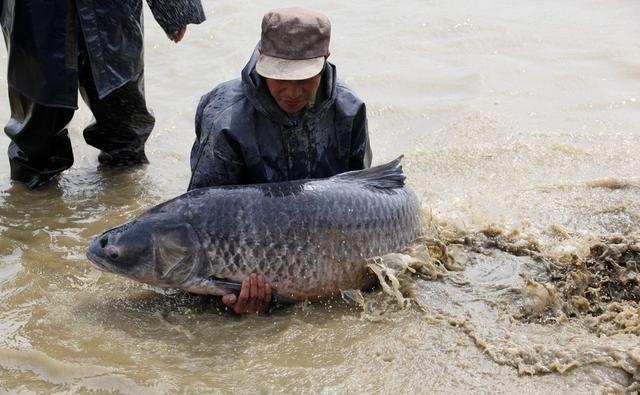 水库常有大青鱼,解析水库野钓青鱼4大技巧