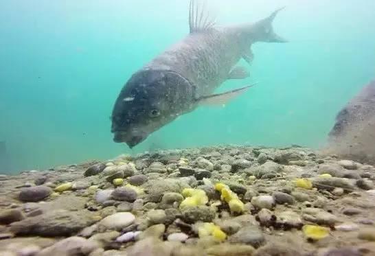 同是鲤鱼,为何黑坑用的饵料,很难钓上野生鲤鱼