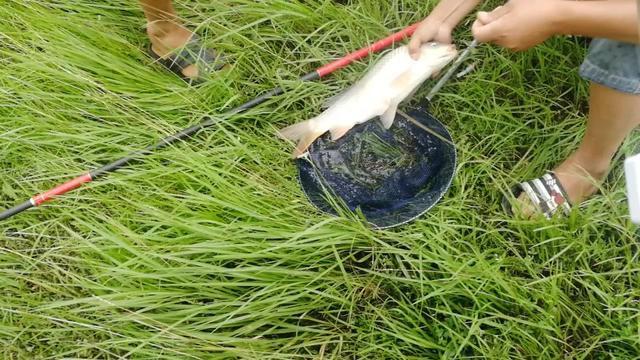 传统钓的沧海遗珠,不用竿钩线,一根藤蔓能爆护