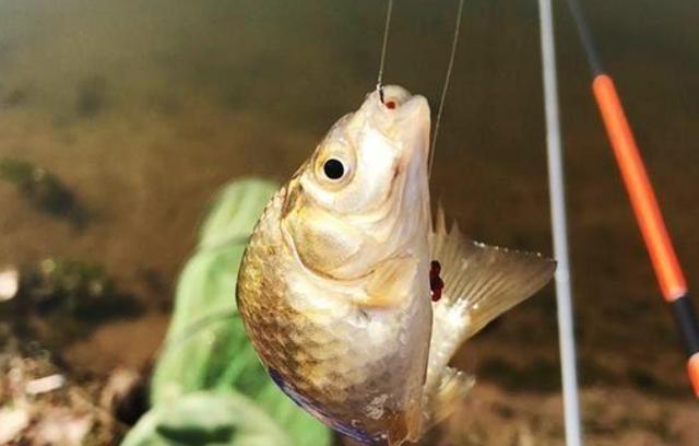 在自然水域钓鱼,传统钓可未必会输给台钓