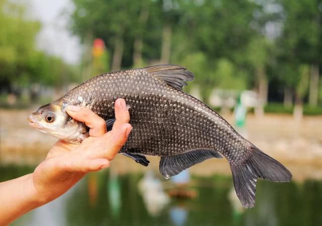 传统钓怎么钓鲫鱼?
