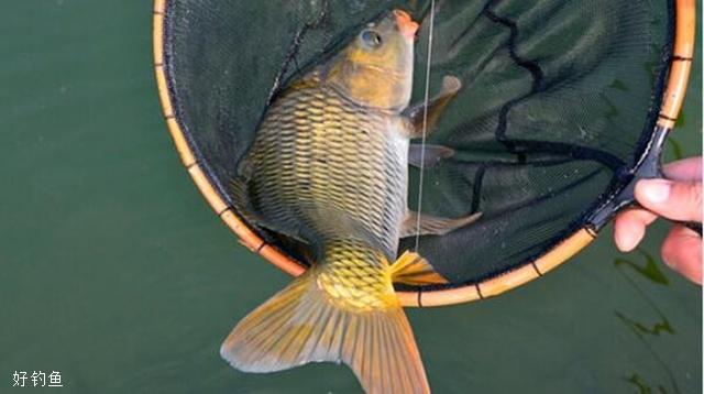 初秋野钓鲤鱼的四个时间段