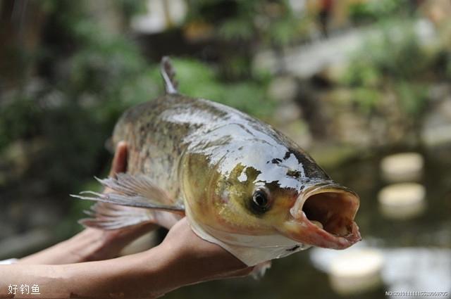 夏钓草鱼的技巧,和饵料选择_4