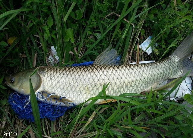 夏季钓草鱼的沉底钓和浮悬钓技巧
