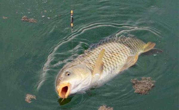 台钓鲤鱼调漂技巧,说的都是关键