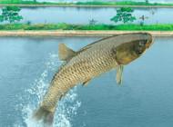 传统钓法钓青鱼的钓具、打窝和钓位技巧