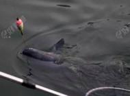 夏天钓青鱼的四个实用技巧
