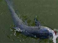 大青鱼选钓位与做鱼窝的方法