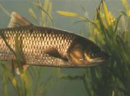 了解青鱼的习性、钓具准备及钓法