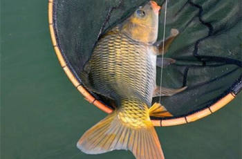 钓鲤鱼饵料配方及用饵技巧,钓鱼高手分享