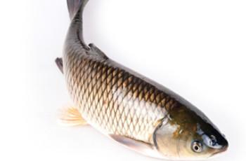 夏季钓草鱼的4个打窝方式