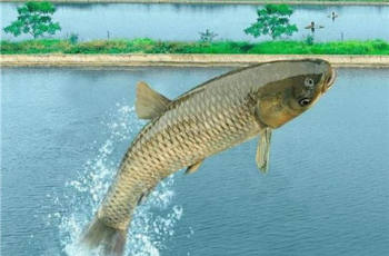 水库野钓如何才能钓到大草鱼?钓具、饵料、钓位要选好