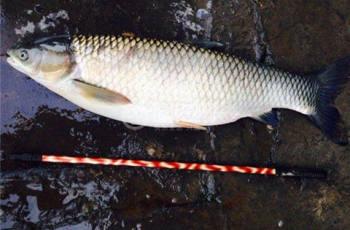 钓草鱼遛鱼技巧,让大草鱼乖乖上钩
