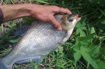 春夏季钓鳊鱼的三种钓法技巧