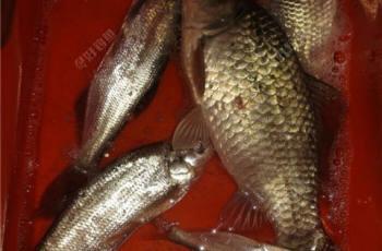 钓鲫鱼鲤鱼玉米饵料的制作方法