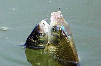 这些关于钓鲫鱼的用饵小秘密,你知道吗?