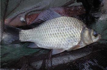 秋季钓鲫鱼鲤鱼的自制爆护饵料